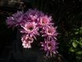 cactus_flower_051513_1000